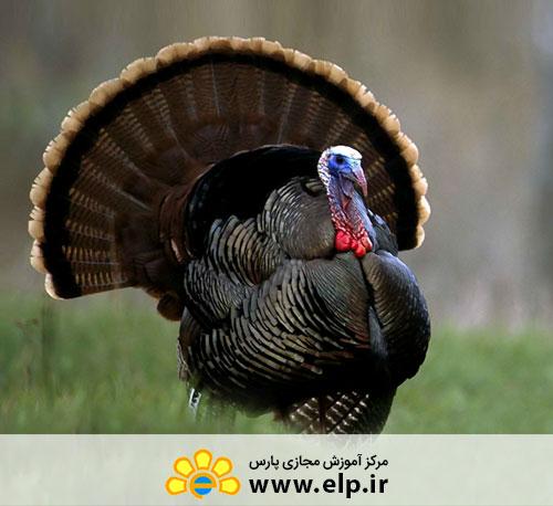 Turkey Breeding