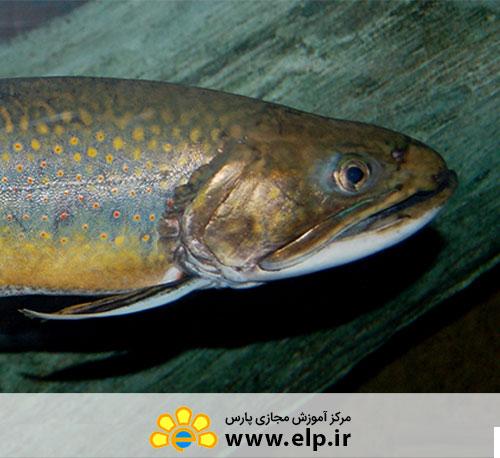دوره آموزشی پرورش ماهی قزل آلای رنگین کمان