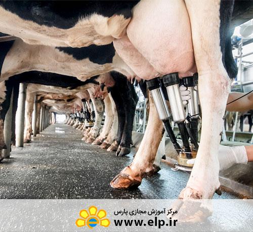دوره آموزشی آشنایی با روش های پرورش گاوهای شیرده