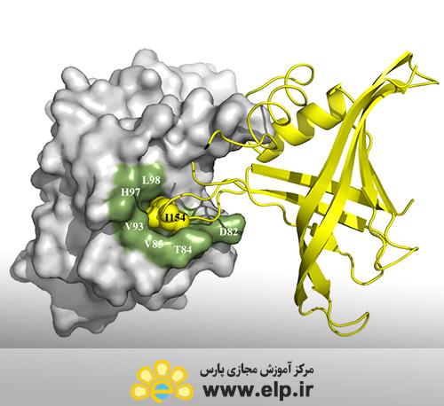 ارزيابي بيان پروتئين نو ترکيب در باکتري E.Coli