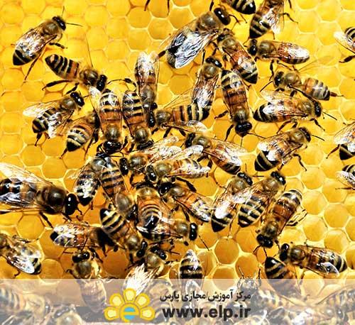 * اصول کنترل بیماری های زنبور عسل و راه های پیشگیری آن ها